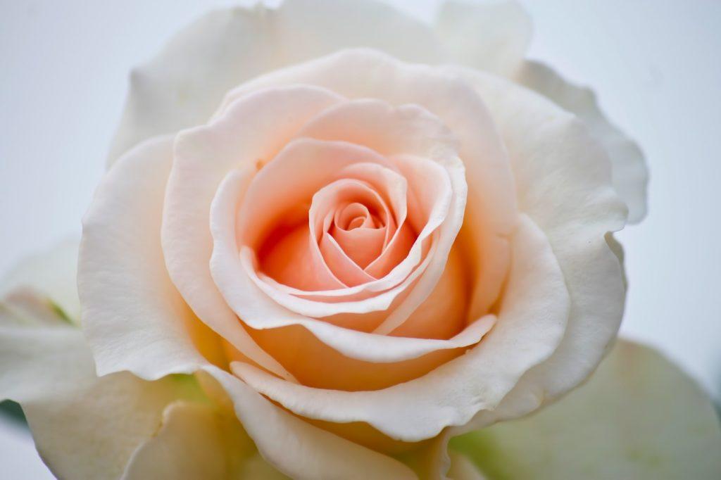バラの記憶とセラピー